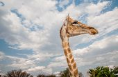 picture of sub-saharan  - Close up photo of the neck and face of a giraffe - JPG