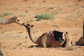 foto of desert animal  - Kiss between two camels in the desert - JPG