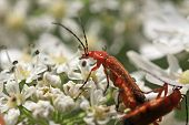 picture of copulation  - soldier beetles perched on a hogweed flower - JPG