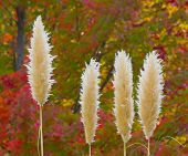 stock photo of pampas grass  - Pampas grass in the sun with beautiful autumn colors in the background - JPG