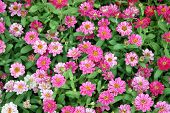 pic of zinnias  - Colorful Zinnia flowers in the garden - JPG