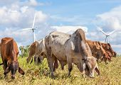 stock photo of dairy cattle  - A mixed herd of cattle with windmill farm on a bright sunny day near wind electricity plant Korat province in Thailand - JPG