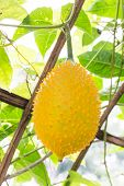 foto of gourds  - Gac fruit as as Baby Jackfruit Spiny Bitter Gourd Sweet Gourd or Cochinchin Gourd - JPG