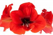 stock photo of belladonna  - Red Amaryllis isolated in front of white background - JPG