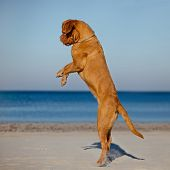 picture of dogue de bordeaux  - dogue de bordeaux dog having fun on a beach - JPG