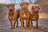 picture of bordeaux  - three dogue de bordeaux dogs posing together - JPG