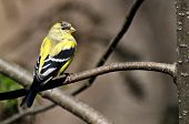 pic of goldfinches  - Male Goldfinch Changing to Breeding Plumage in Spring - JPG