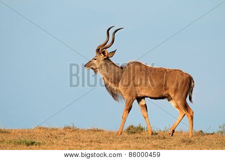 Male kudu antelope (Tragelaphus strepsiceros) against a blue sky, South Africa