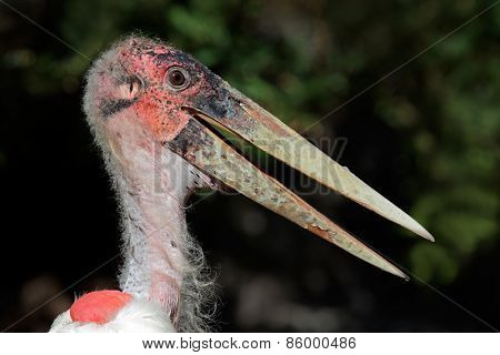 Portrait of a Marabou stork (Leptoptilos crumeniferus), South Africa