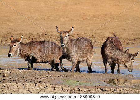 Waterbuck antelopes (Kobus ellipsiprymnus) in mud, Pilanesberg National Park, South Africa