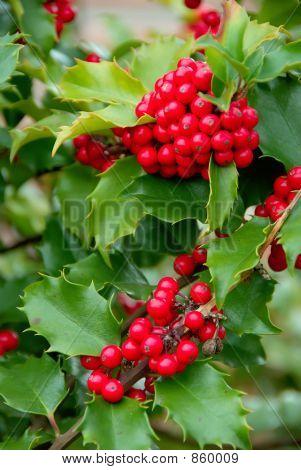 Yuletide Holly Berries
