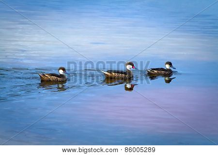 White-cheeked pintail duck in the Galapagos Islands