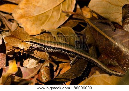 Lizzard On The Leaf