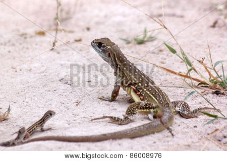 Butterfly Lizard And Two Baby