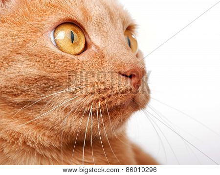 Redhaired Cat On White Background