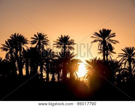 Palm Silhouettes over sunset in the desert. Zagora, Morocco, Africa.