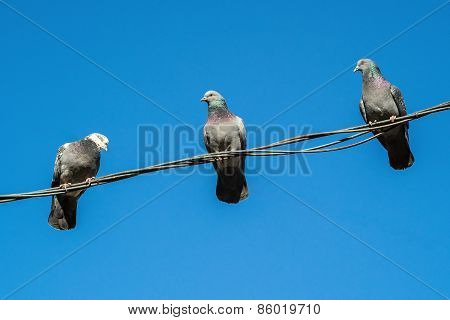 Three Pigeons Sit On A Wire And Look