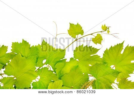 fresh grape leaves isolated on white