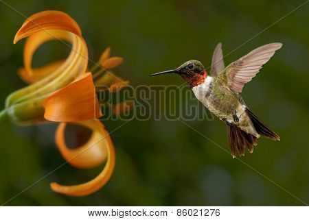 Hummingbird (archilochus Colubris) In Flight