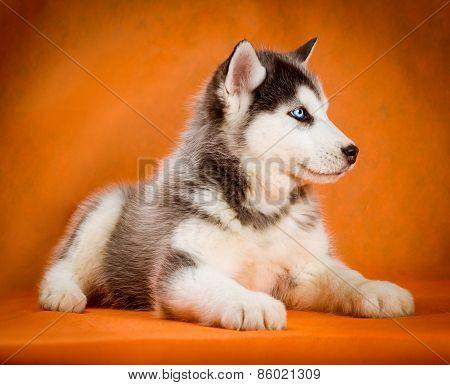 siberian husky puppy studio shoot