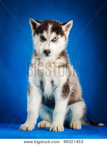 siberian husky puppy studio shoot