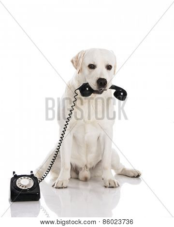 Beautiful labrador dog holdiing a phone
