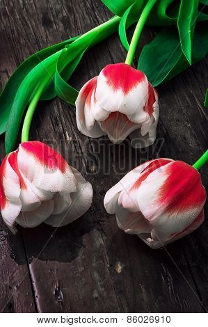 three white red tulips