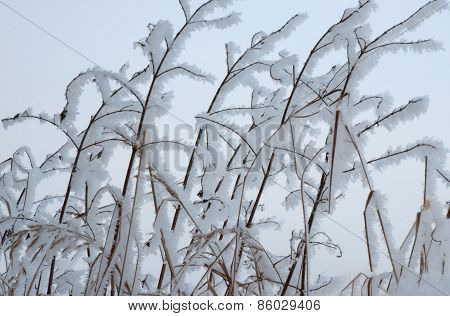 Snowy Twigs Of Bushes