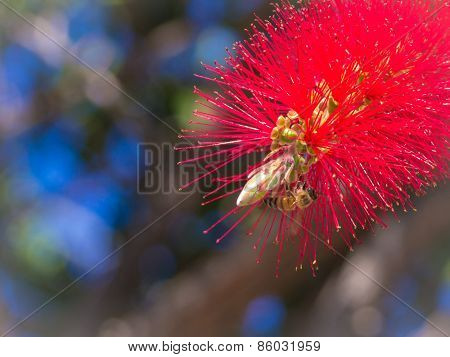 A Bee On The Red Flower