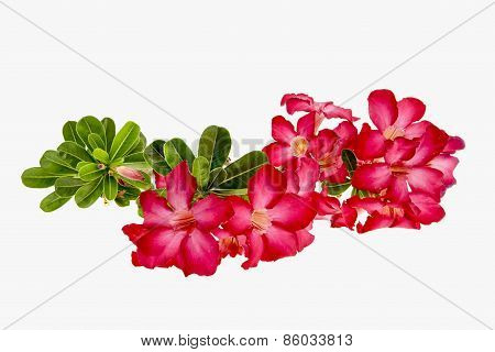Close-up Impala Lily Or  Desert Rose Isolate On White Background