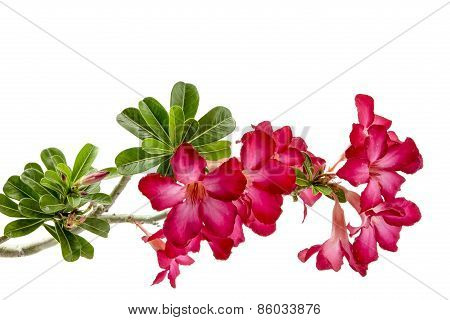 Close-up Impala Lily Or  Desert Rose Isolate On White Background