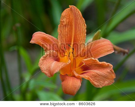 Beautiful Orange Daylily Flower On Natural Green Background
