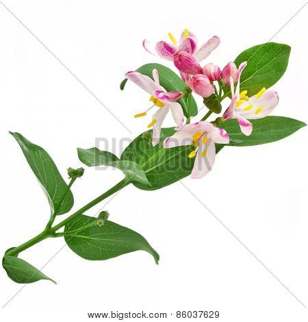 Honeysuckle, Lonicera tatarica close up isolated on white background