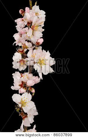 Almond Tree Branch