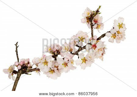 Almond Tree Twig