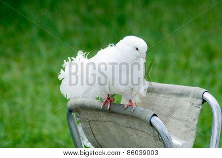 decorative white pigeon