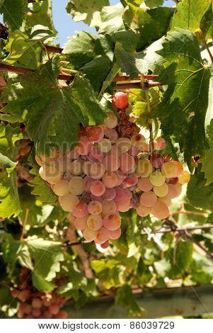 Ripe grapes on the vine, Spain.
