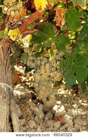Ripe grapes on plant, Montilla.