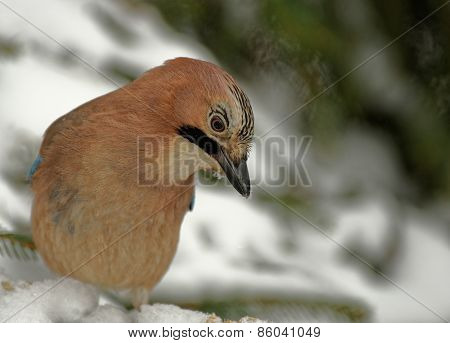 Jay( Garrulus Glandarius) In Winter
