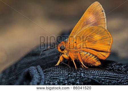 Orange Awlet Butterfly