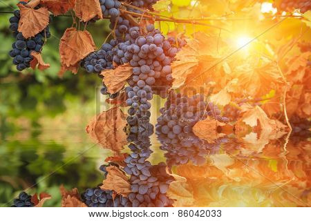 Reflection Of Grapes In Clean Water. Vine.