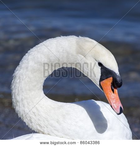 Swan on Maggiore Lake