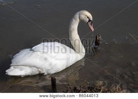 Single Trumpeter Swan
