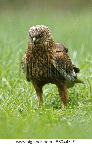 Marsh Harrier On The Meadow
