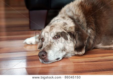 Old Dog Resting Indoors