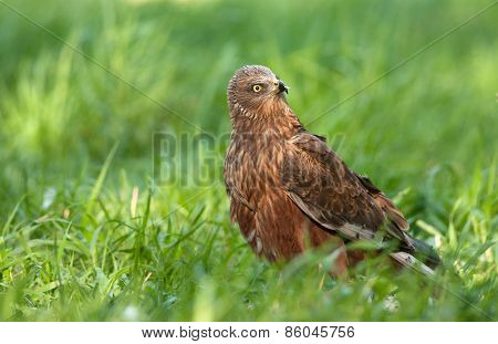 The Male Of The Marsh Harrier Is Sitting On The Meadow And Is Looking To The Back