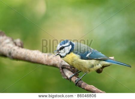 Blue Tit ( Parus  Montanus)