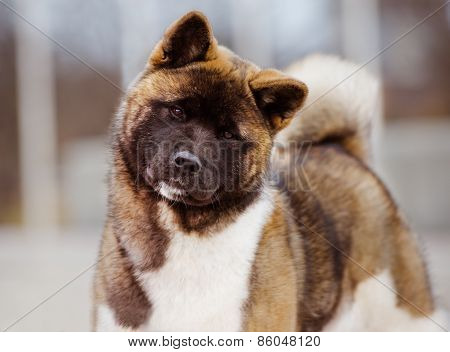 american akita dog standing outdoors