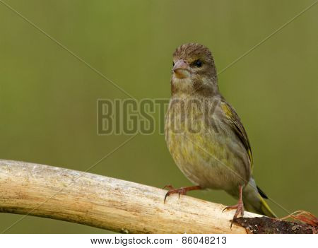 Young Greenfinch On The Branch
