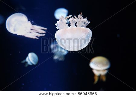 Jelly Fish In Aquarium